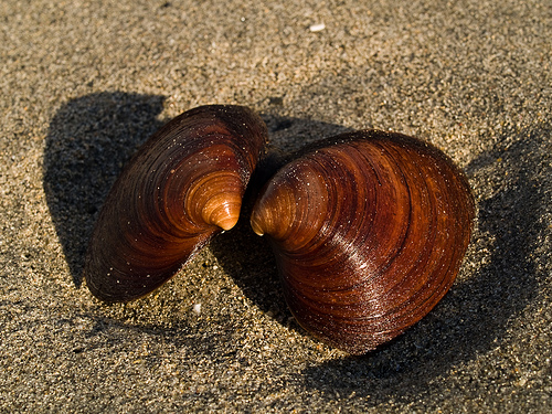 Quahog clam show their age on the outside, you count the rings...