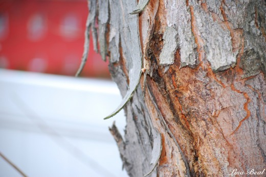 This was taken in my back yard. I noticed the way the tree bark was curling and peeling,and just thought it looked interesting.
