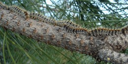 pine processionary caterpillars