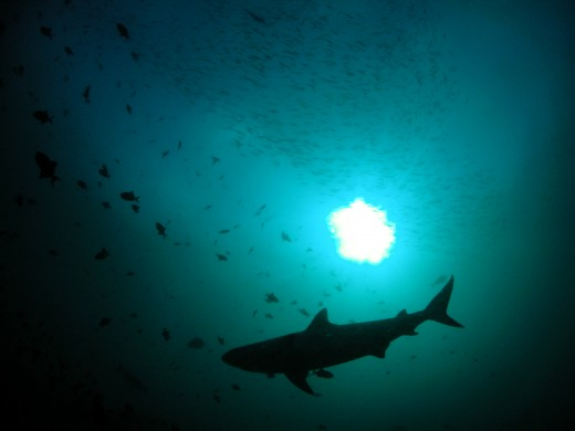 http://commons.wikimedia.org/wiki/File:Shark_Silhouette.jpg