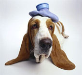 Basset Hound with headache