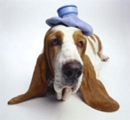 Basset Hound with headache