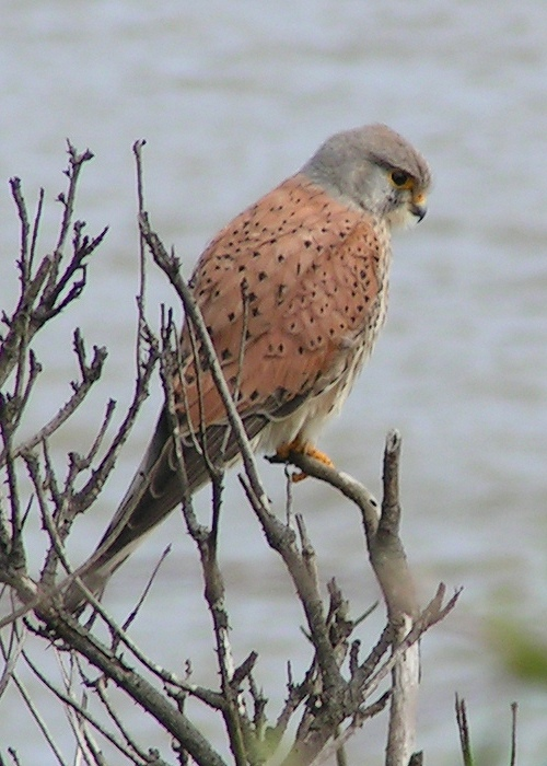 The kestrel is a common bird of prey at the park.Photograph courtesy of sannse.