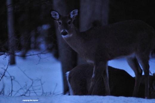 A deer peers toward the house.
