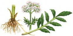 Valerian for Insomnia, Stress and Anxiety