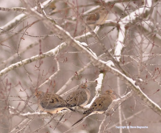Tree mourning doves share a branch in a maple tree.