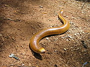 a legless lizard in the Amphisbaenid Family.