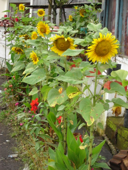 Sun flower growing a long a road side in Tomohon of Minahasa regency