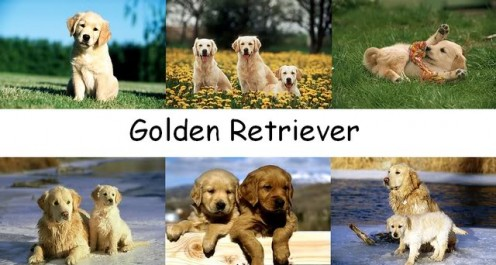 Goldens are part canine, part angel!