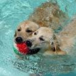 Goldens LOVE water and are strong swimmers.  Throw a ball or stick in the water and watch them GO.