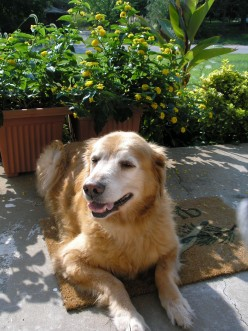 A golden's nose and face will turn white around the age of 8. This is normal and similar to grey hair in humans.