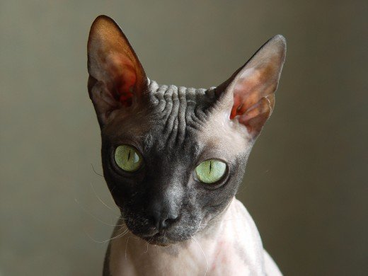 If your bald cat must go outside...make sure he wears his sunblock!