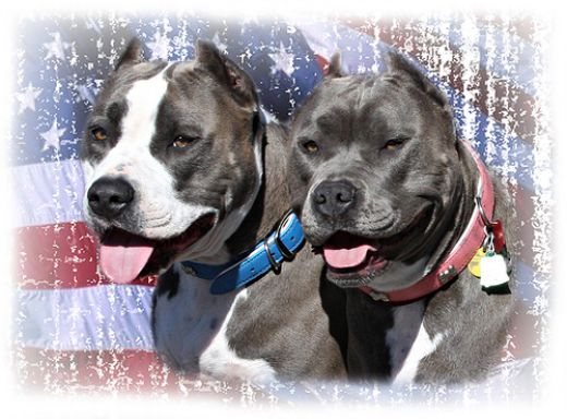 the truth about pitbulls Here is the beautiful truth about pit bulls that people don't often want to consider pitbulls are wiggly, cuddly, affectionate dogs if you don't like.