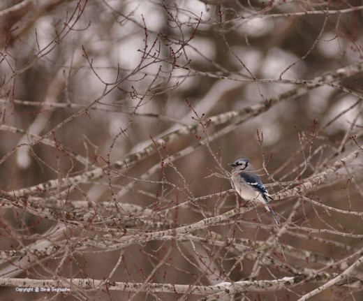 A blue jay waits for a chance to head to a feeder.