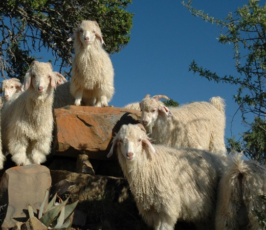 Mohair or Angora Goats from which a Mohair Sweater is made.