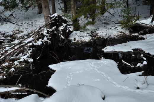 Tracks in the swamp across the creek show the deer did a loop at the old channel.