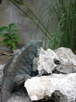 A rare Blue Iguana