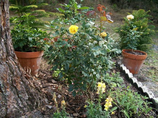 Roses, herbs and a hibiscus in a pot.