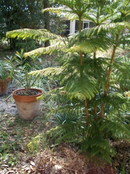 Norfolk pine once served as a Christmas tree (I always buy live trees and plant them.) A desert rose, dormant in the chill, in a pot behind.