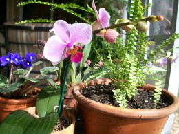 A pink orchid grows in a moss pot tucked in with a young fern.