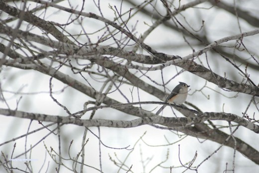 This lone tufted titmouse waited in the maple tree near the feeder while I observed it and the yard this afternoon. The other birds flitted off to the swamp until I left.