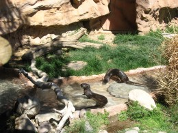 Sea Otters playing in their enclosure at Tucson's Reid Park Zoo
