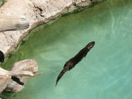 Sea Otter swimming in their enclosure at Tucson's Reid Park Zoo