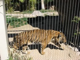 Tiger prancing around cage in Tucson's Reid Park Zoo