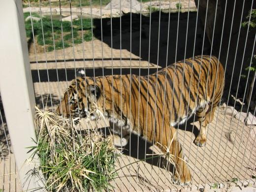 Tiger at Tucson's Reid Park Zoo