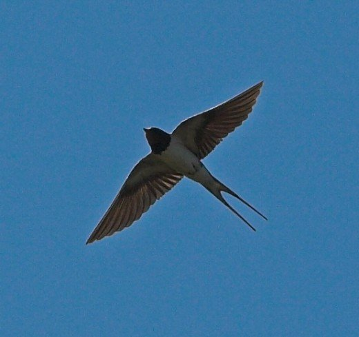 Swallows possess amazing aerial skills and rid the air of insect inhabitants. Photograph courtesy of Thermos.