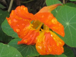Photo:   Nasturtiums are easy to grow and have colorful flowers.