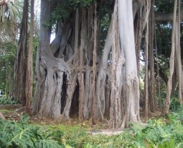 Australian Banyan Tree. Photo: Steve Andrews