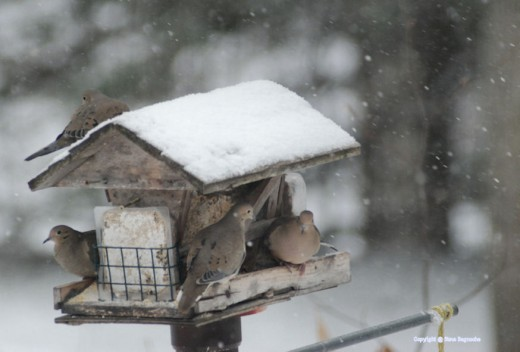 Doves dominated the feeder at 1 p.m.