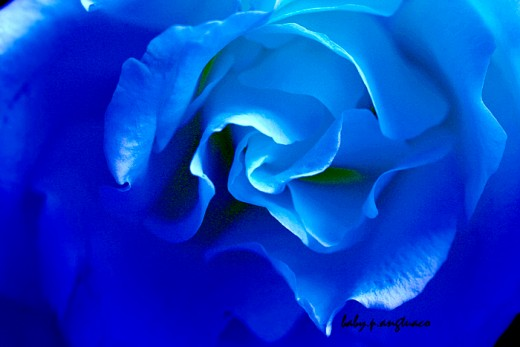 manipulated blue rose