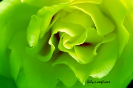 manipulated green rose
