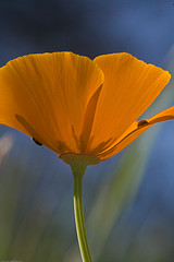 California Poppy courtesy of MikeBaird on Flickr