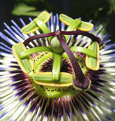 Passion Flower courtesy of Flickr