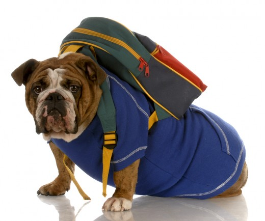 This dog is ready for school...NOT hiking!