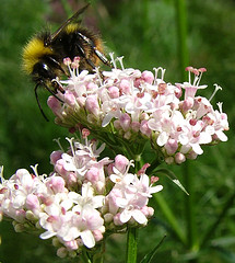 Valerian courtesy of epicnom and Flickr