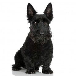 Meet the Adorable Scottish Terrier Dog Breed (The Monopoly Dog!)