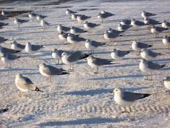 Photos of Seagulls