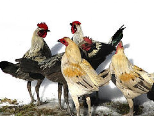 Fine Old English Bantams