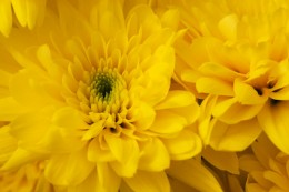 Chrysanthemum are beautiful insect repellants