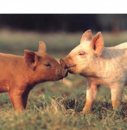 Cute Little Piglets