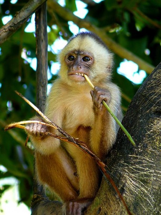 Monkey: The difference between a monkey and a chimpanzee is that a monkey has a tail. Image Credit: Whaldener Endo, Wikipedia