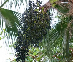 Acai Berry - Superfruit or Fraud?