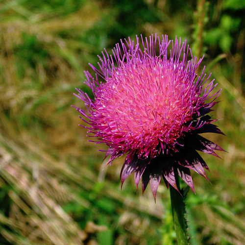 Musk Thistle flower in a Grassland