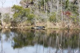 Sunbathing alligators off Alligator Alley
