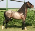 Welsh Ponies-The Perfect Family Horse...Uh, Pony