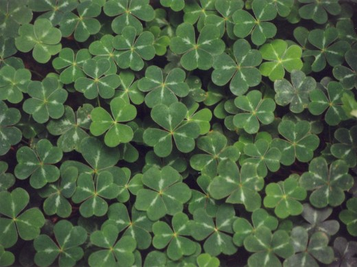 The shamrock is a symbol of St. Patrick's Day.